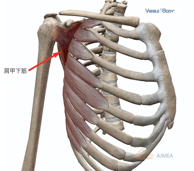 前鋸筋と肩甲下筋